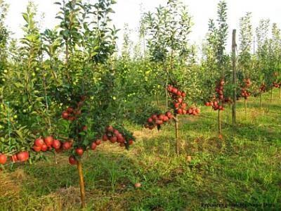 pomi-fructiferi-sistem-intensiv